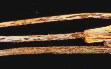 Image related to Wheat (Triticum aestivum)-Stem Rust (Black Rust)