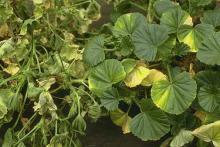 Image related to Geranium (Pelargonium spp.)-Verticillium Wilt