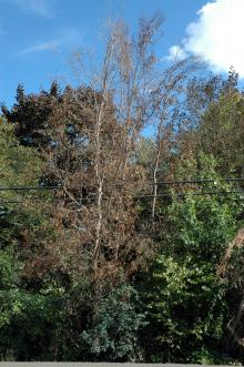 Image related to Winter Injury of Landscape Plants in the Pacific Northwest