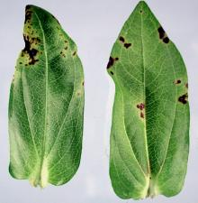 Image related to Zinnia-Bacterial Leaf Spot